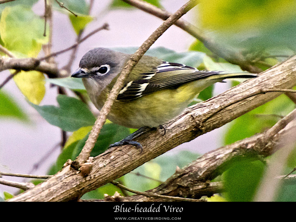 Blue-headed Vireo.001.jpeg