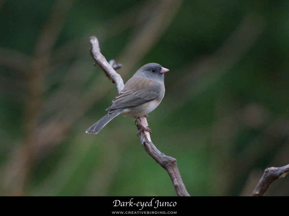 Dark-eyed Junco.001.jpeg
