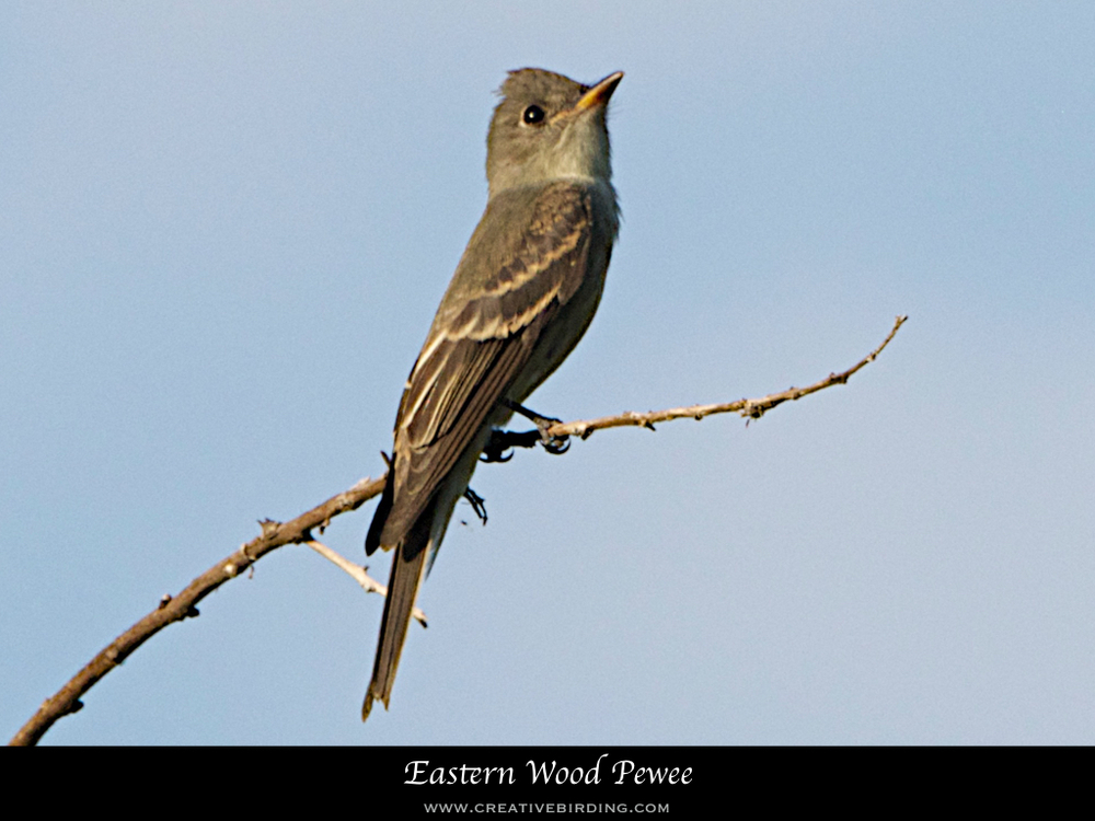 Eastern Wood Pewee.001.jpeg