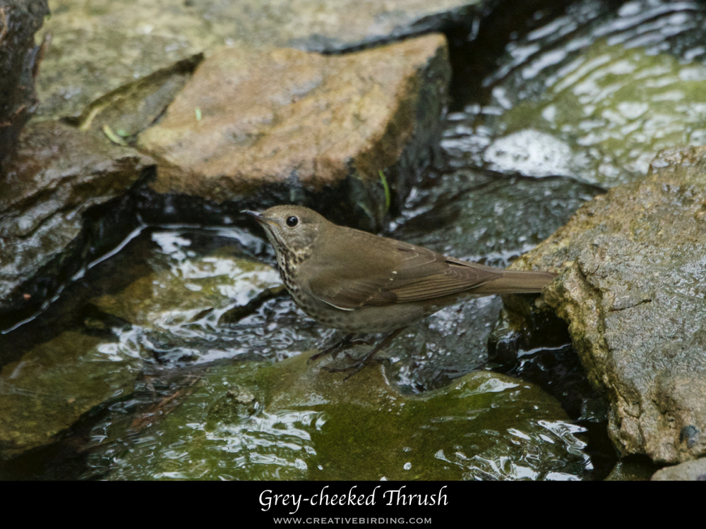 Grey-cheeked Thrush.001.jpeg