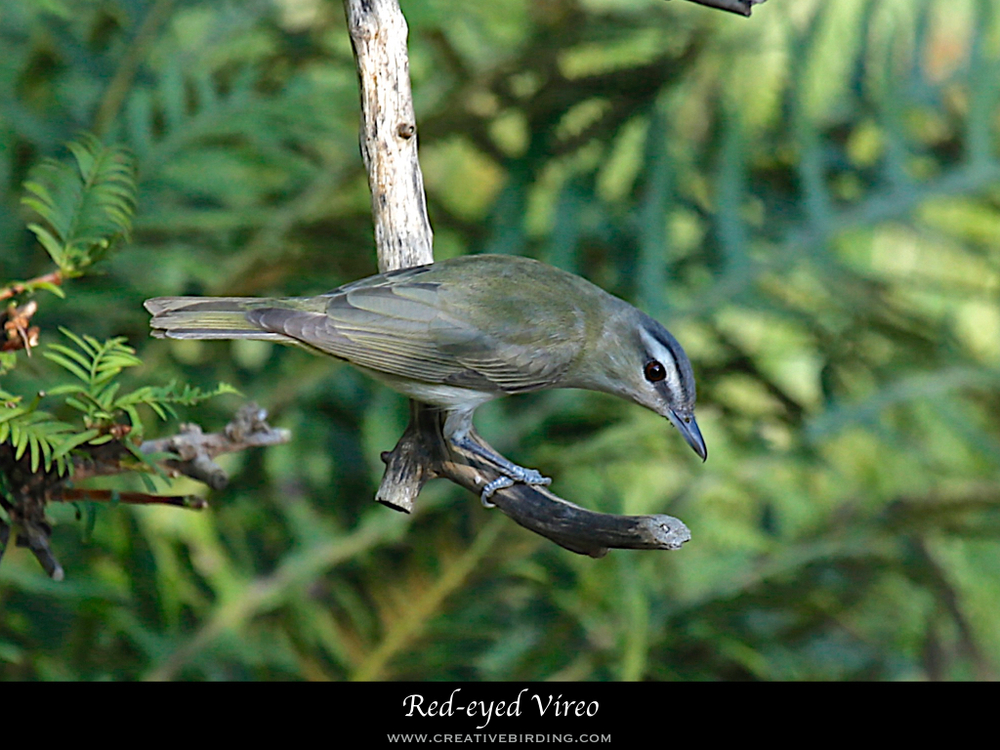 Red-eyed Vireo.001.jpeg
