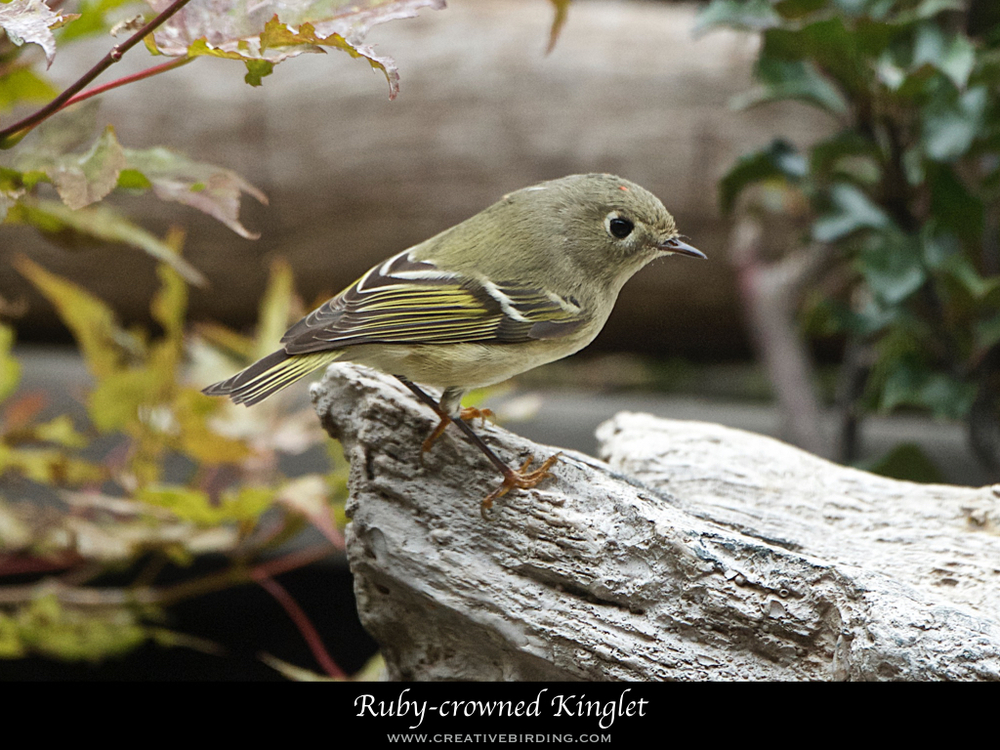 Ruby-crowned Kinglet.001.jpeg