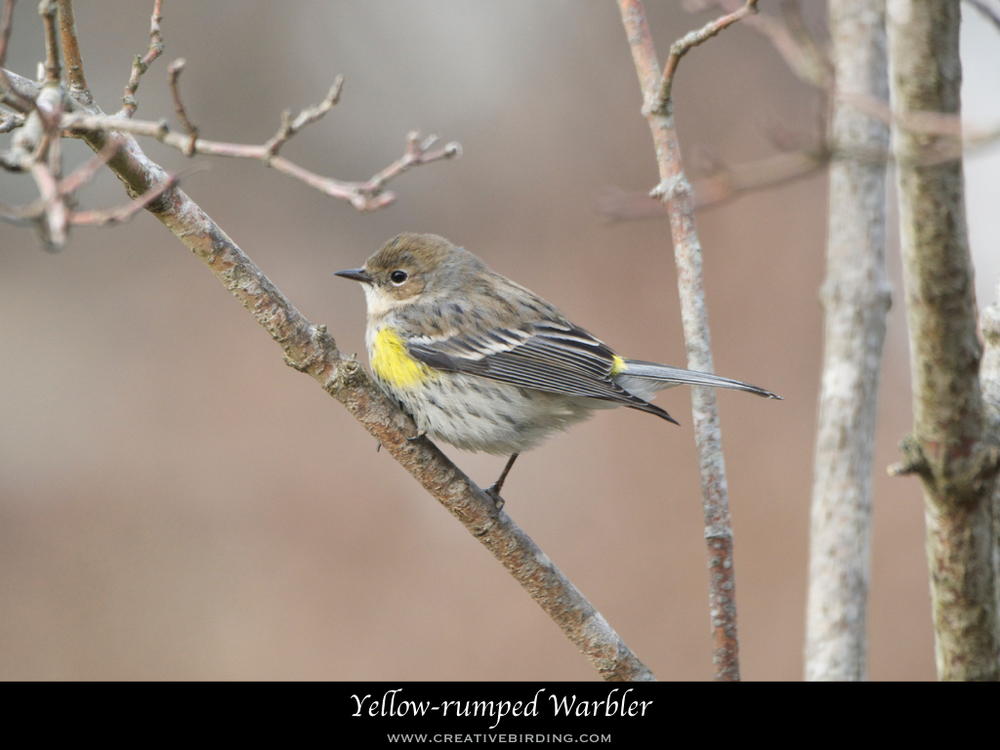 Yellow-rumped Warbler.001.jpeg