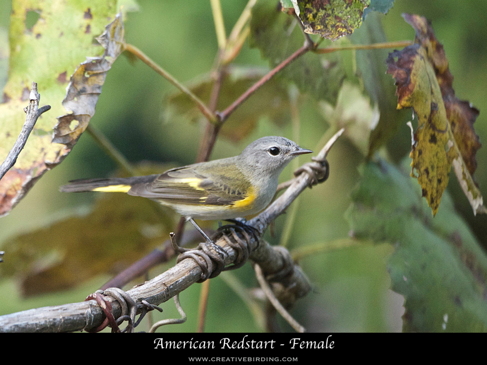 American Redstart - Female.001.jpeg