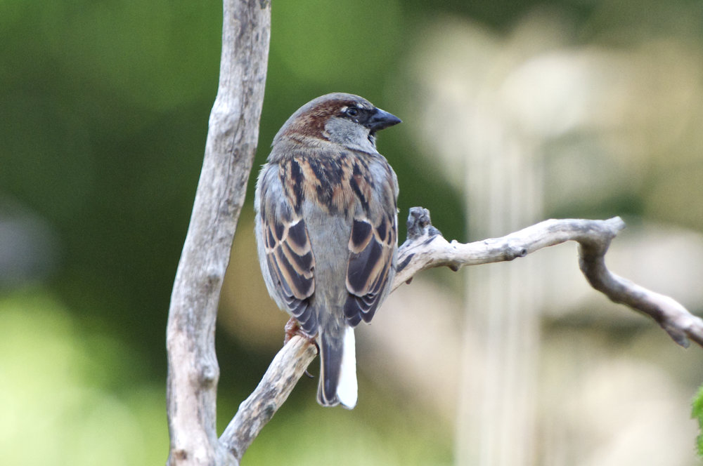 House Sparrow - Leuistic Male.jpg