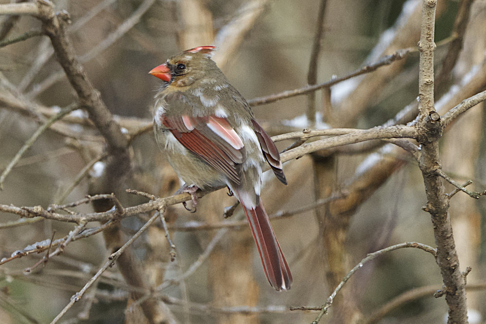 Northern Cardinal- - Leuistic Female.jpg