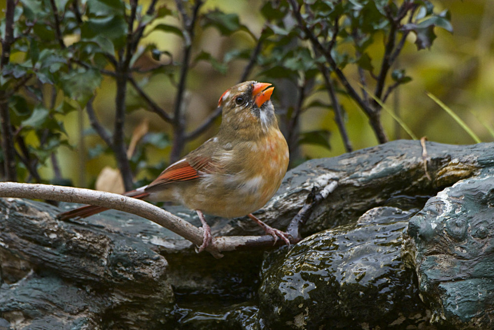 Northern Cardinal-female 9 - Version 2.jpg