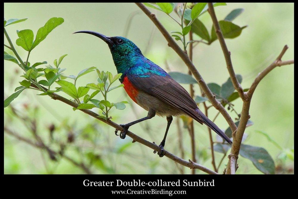 Greater Double-collared Sunbird cb.jpg