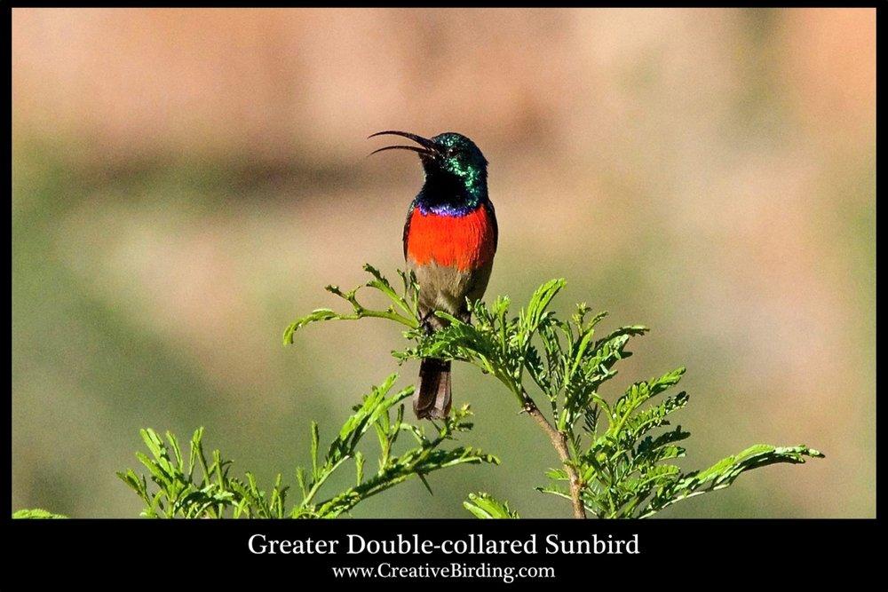 Greater Double-collared Sunbird cb2.jpg