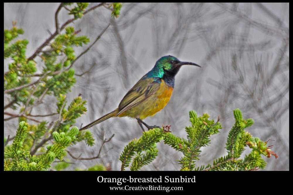 Orange-breasted Sunbird cb.jpg
