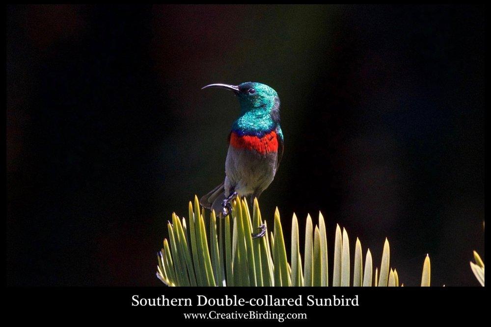 Southern Double-collared Sunbird cb2.jpg