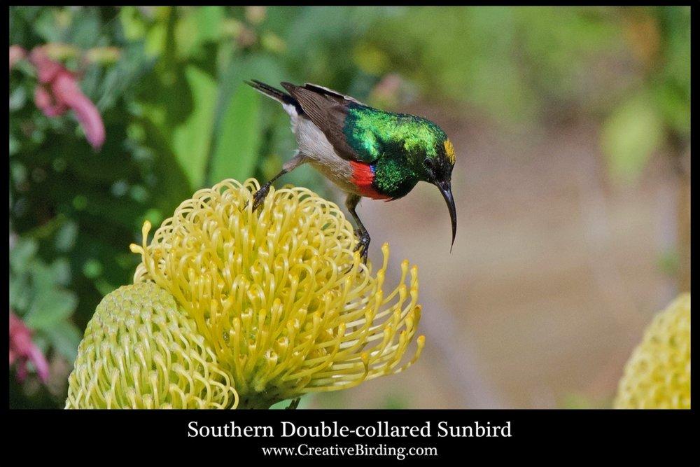 Southern Double-collared Sunbird cb1.jpg