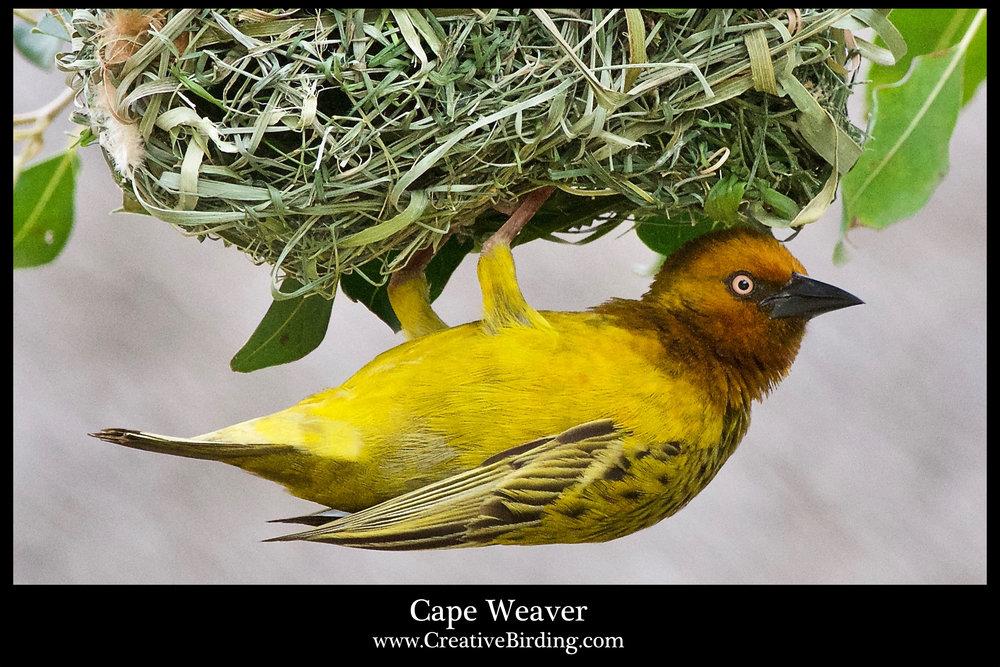 Cape Weaver 1.jpg