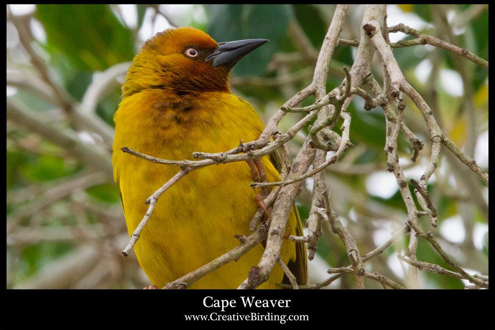 Cape Weaver 2.jpg