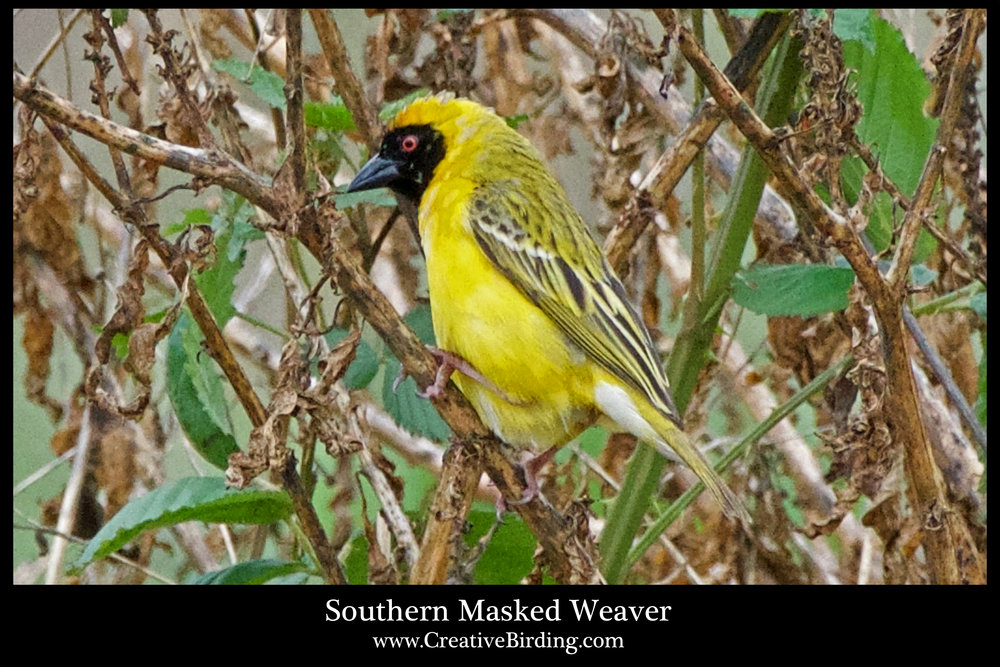 Southern Masked Weaver 1.jpg