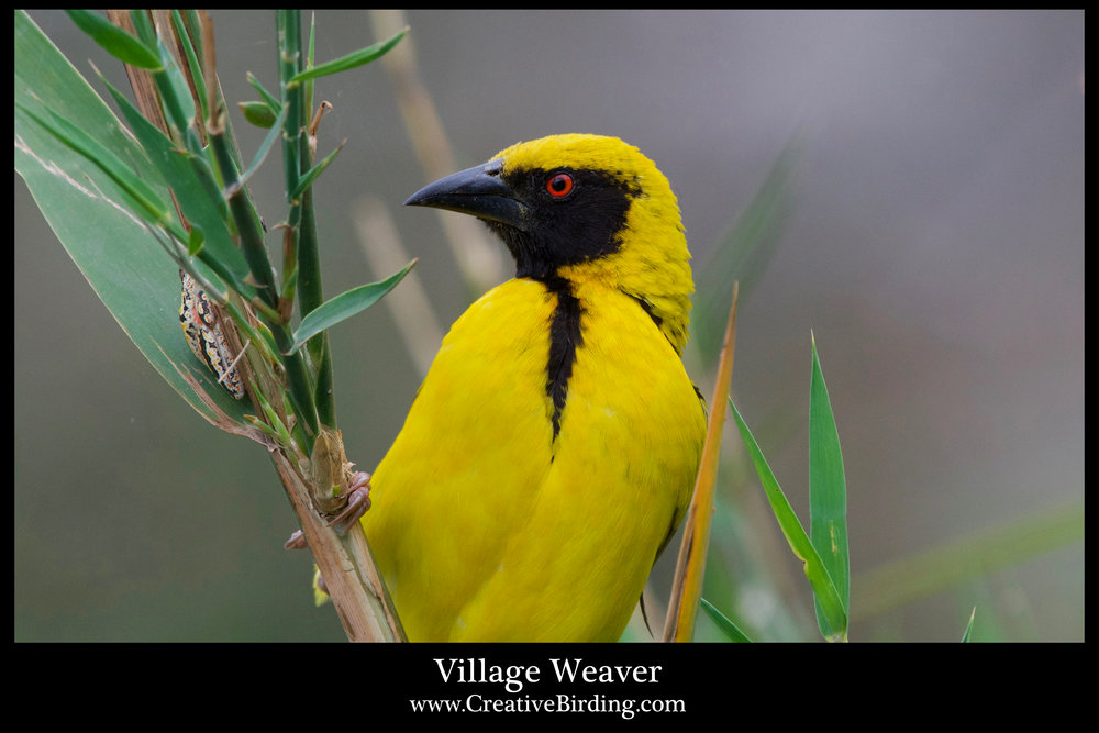 Village Weaver 1.jpg