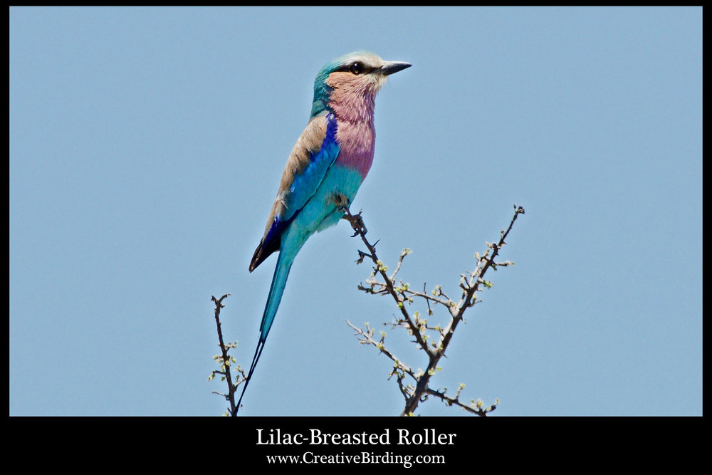 Lilac-Breasted Roller2.jpg