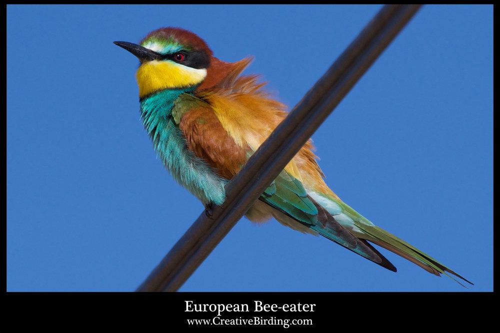 Euporean Bee-eater.jpg