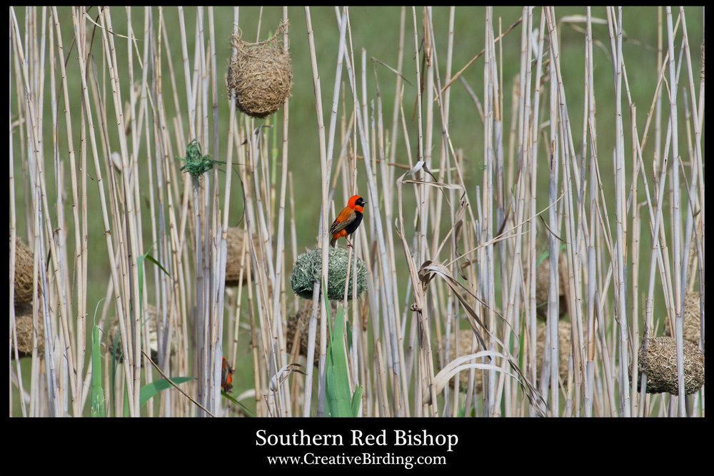 Southern Red Bishop-nest.jpg