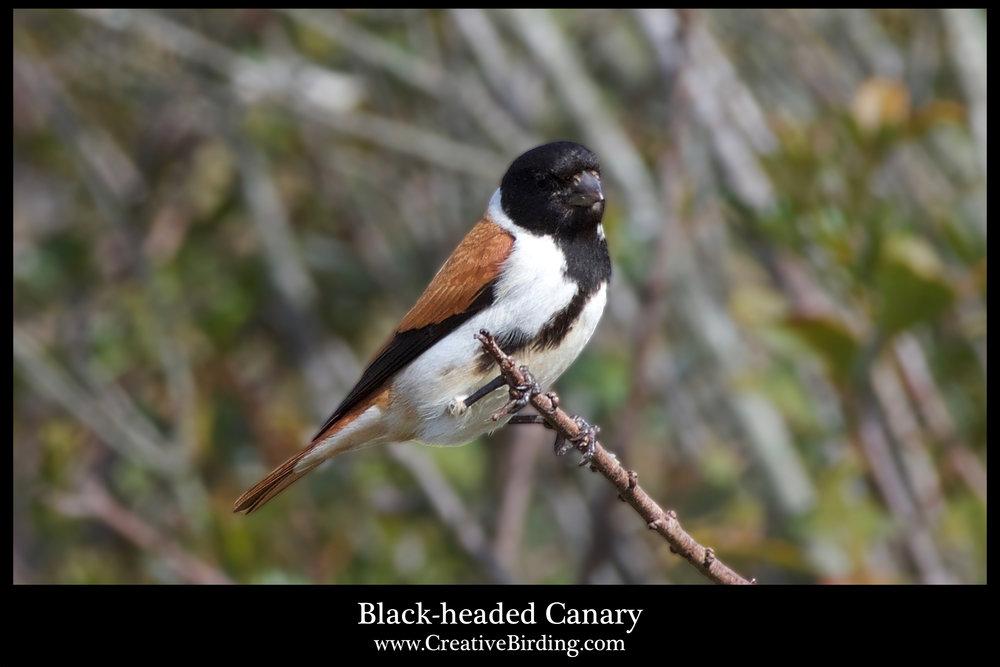 Black-headed Canary.jpg