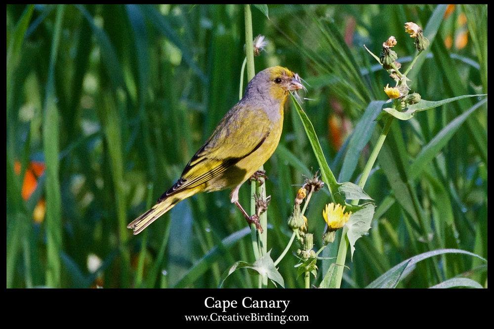 Cape Canary.jpg