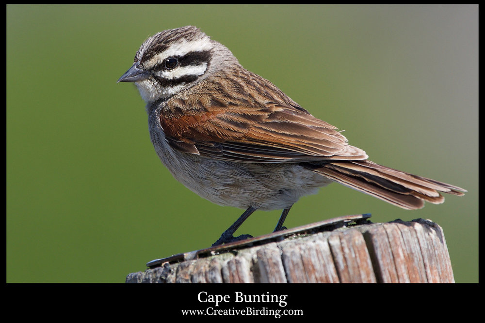 Cape Bunting.jpg