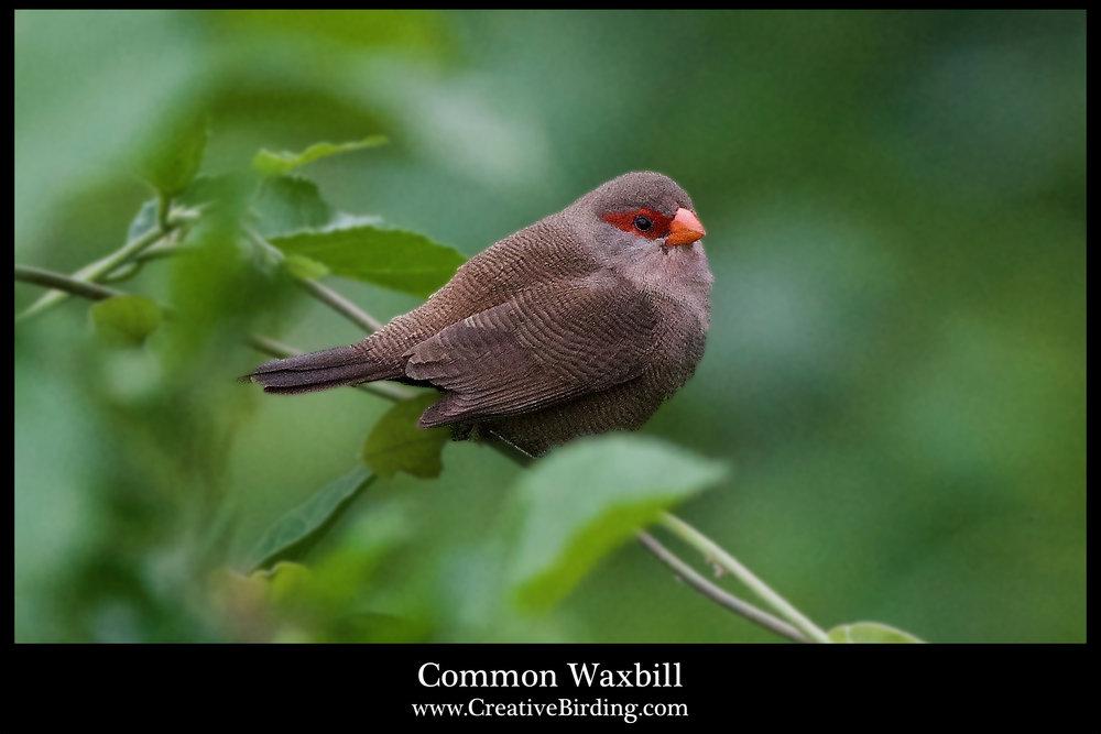 Common Waxbill.jpg