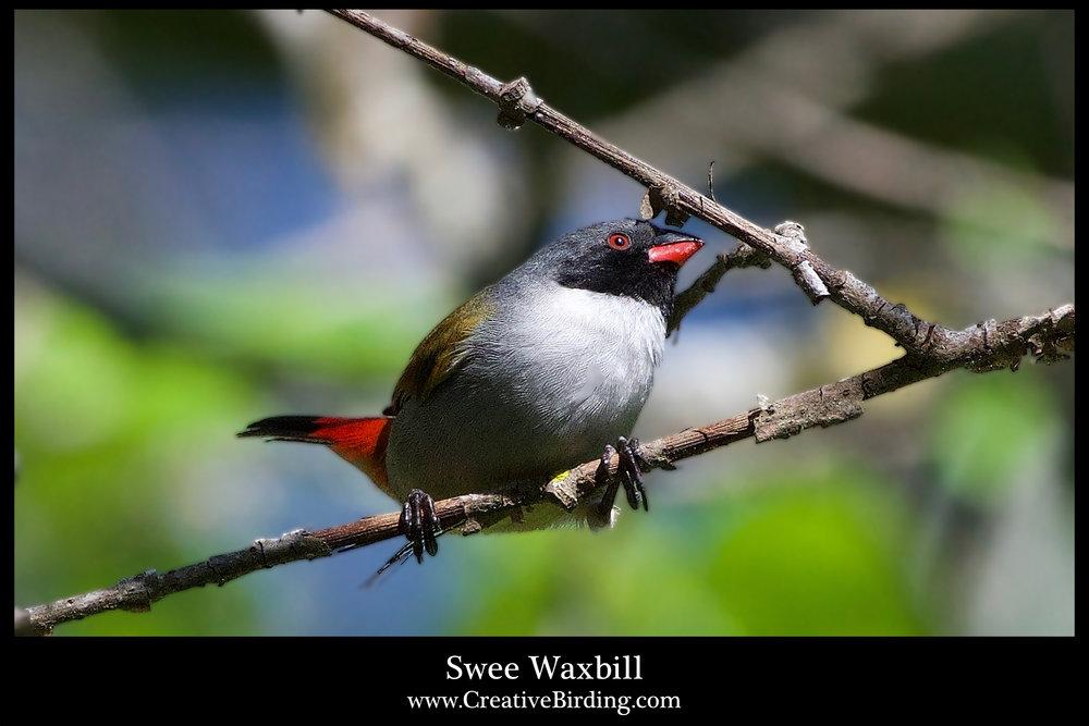 Swee Waxbill.jpg