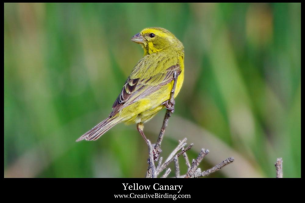 Yellow Canary.jpg