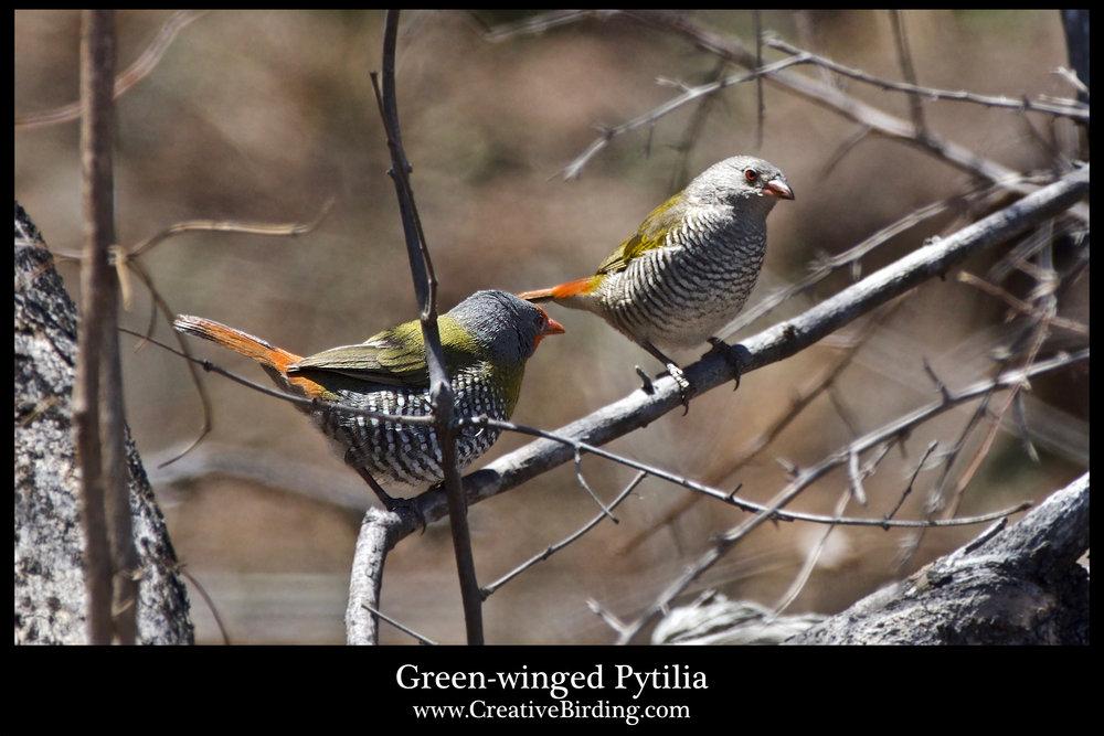 Green-winged Pytilia.jpg
