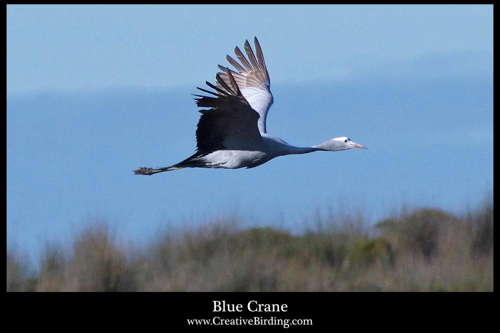 Blue Crane2.jpg