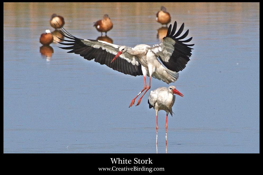 White Stork.jpg