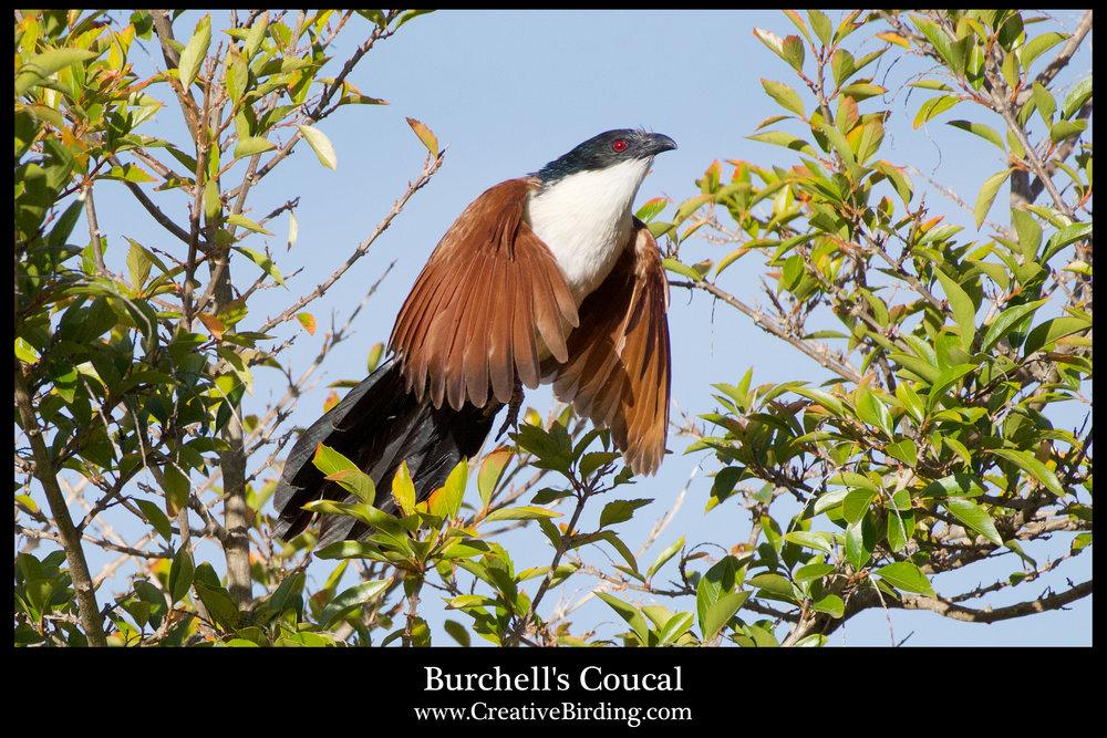 Burchell's Coucal.jpg