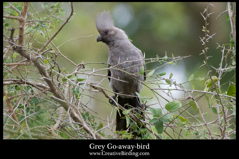 Grey Go-away-bird.jpg