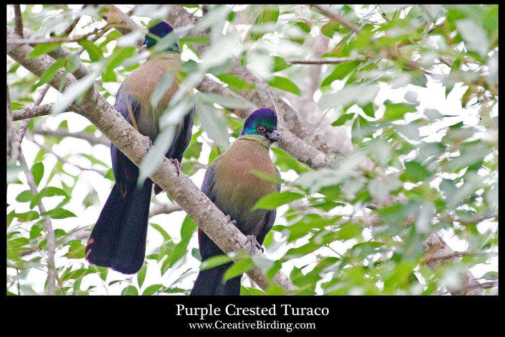 Purple Crested Turaco.jpg