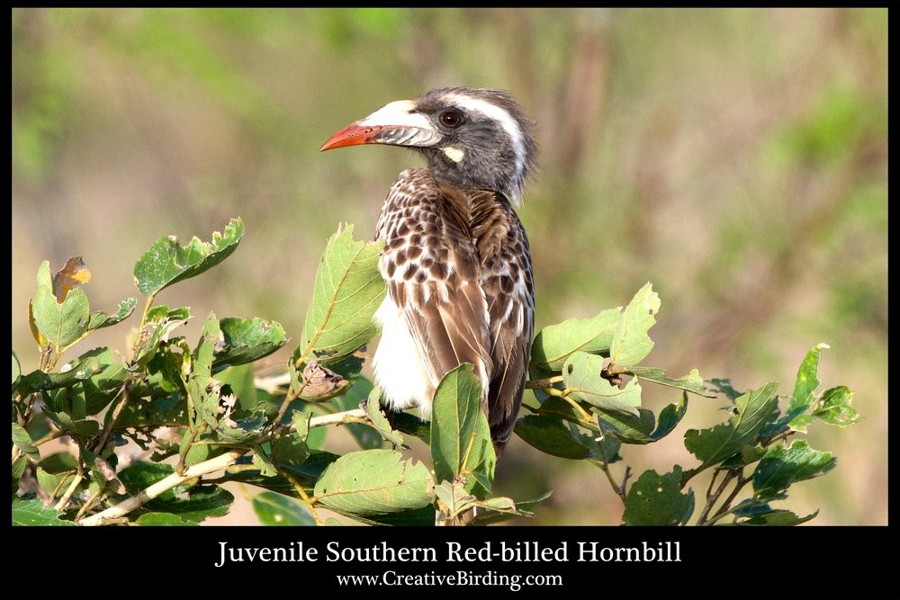 Juvenile Southern Red-billed Hornbill web.jpg