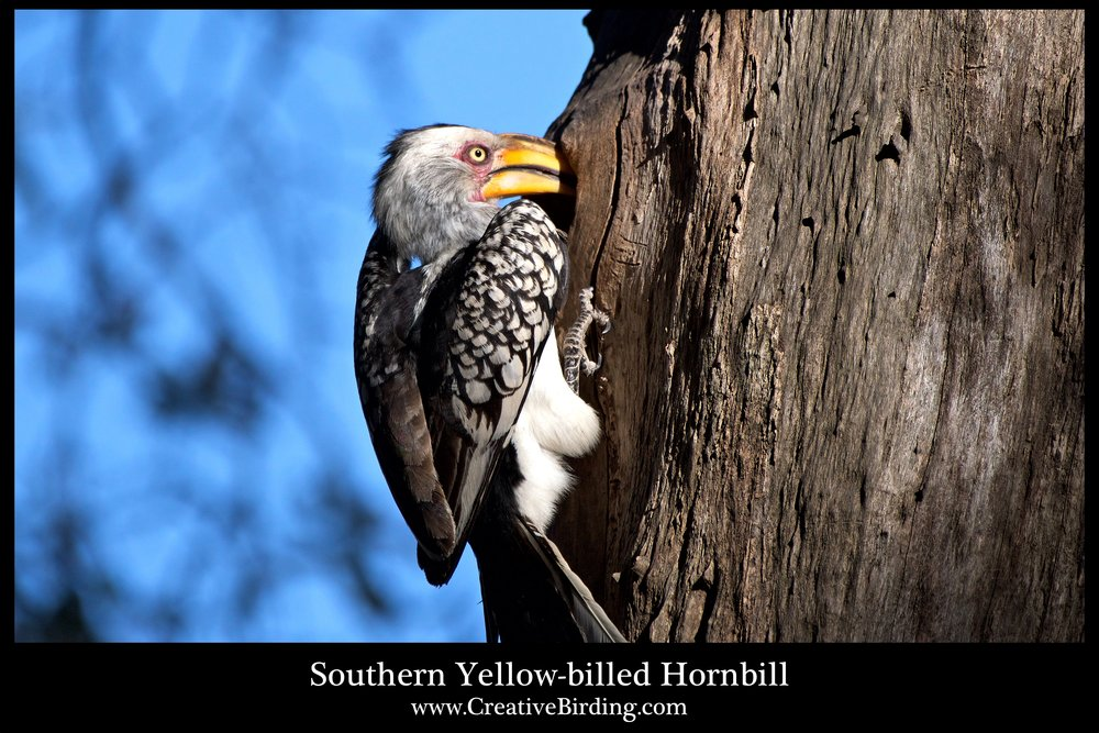 Southern Yellow-billed Hornbill web2.jpg