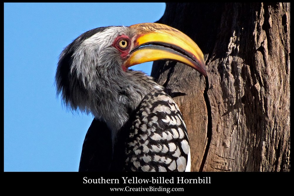 Southern Yellow-billed Hornbill web3.jpg
