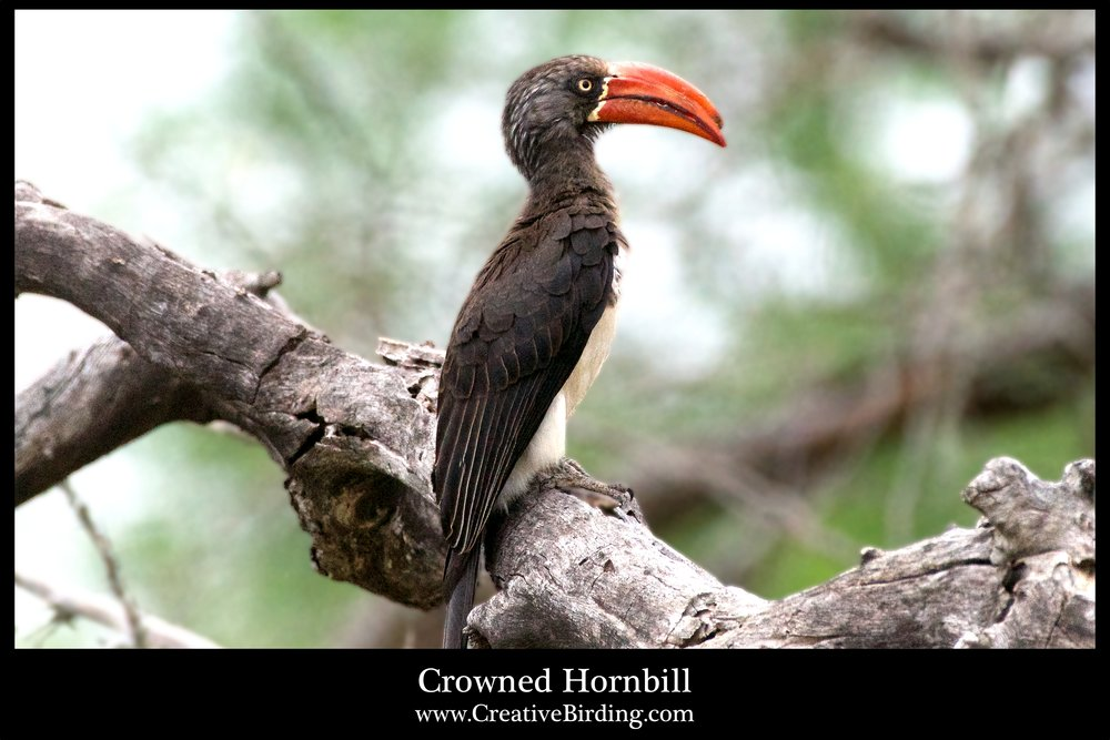 Crowned Hornbill web.jpg