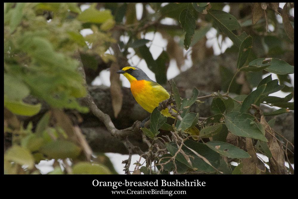 Orange-breasted Bushshrike.jpg