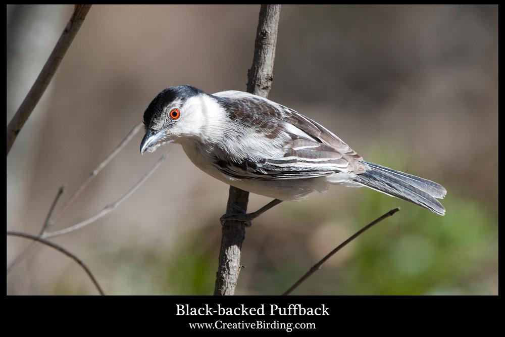 Black-backed Puffback.jpg