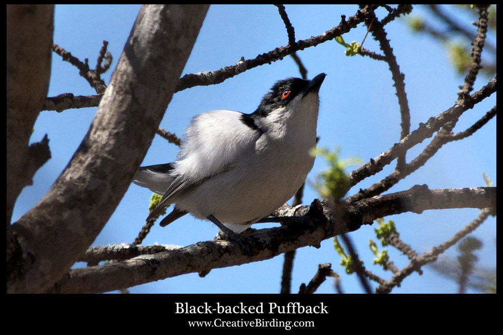 Black-backed Puffback2.jpg