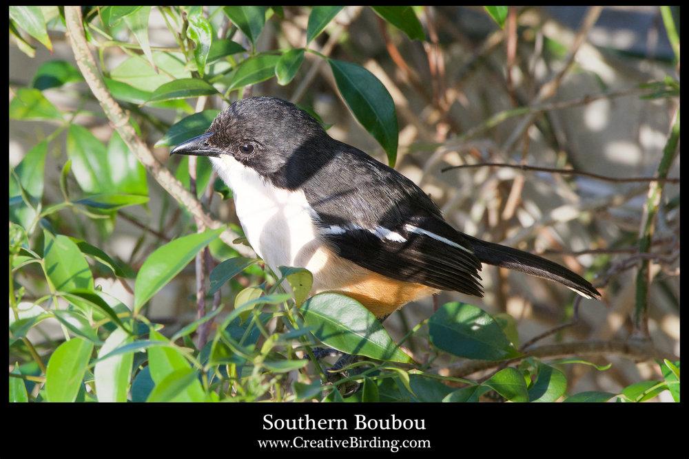 Southern Boubou.jpg
