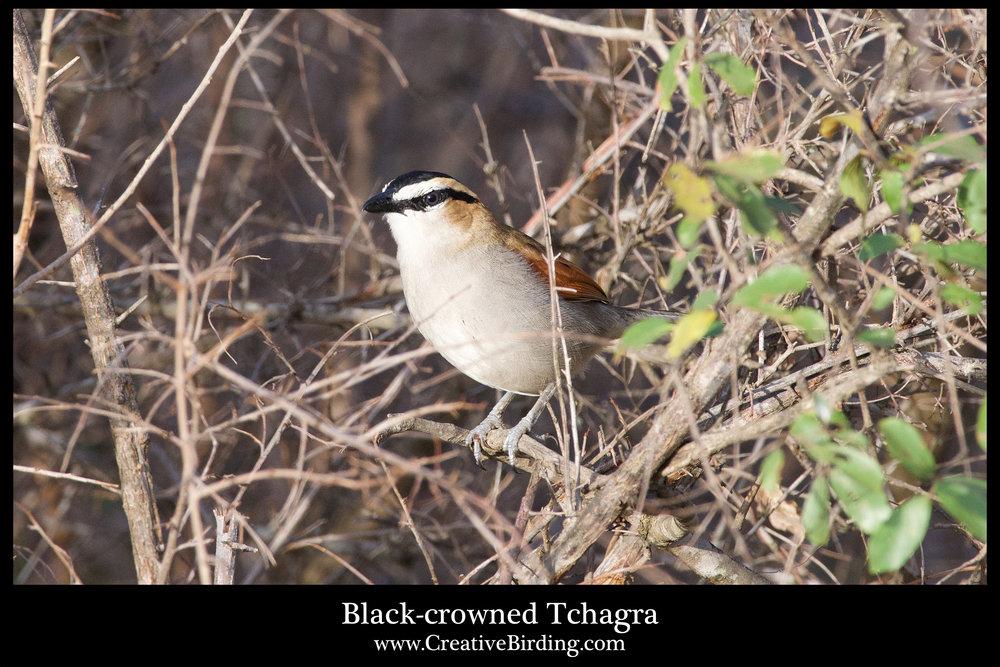 Black-crowned Tchagra.jpg