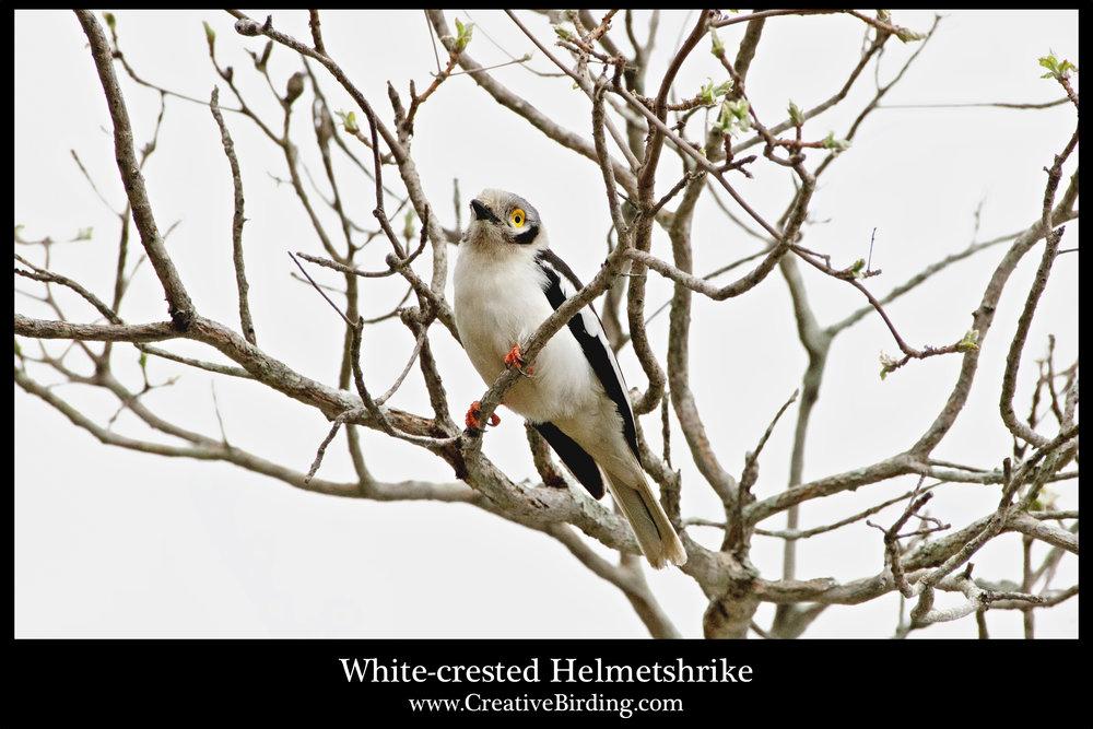 White-crested Helmetshrike.jpg