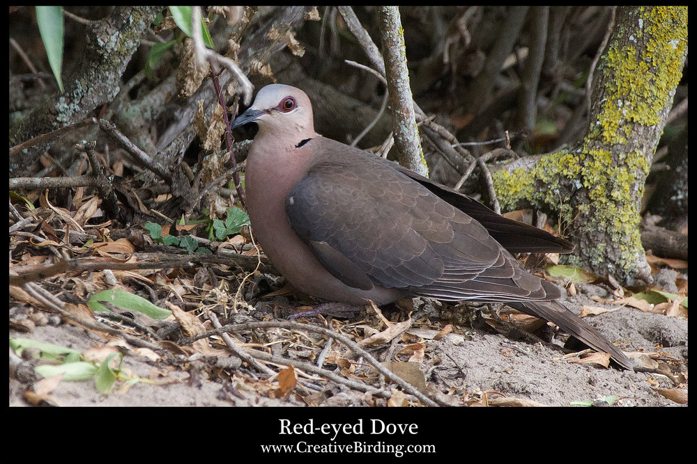 Red-eyed Dove.jpg