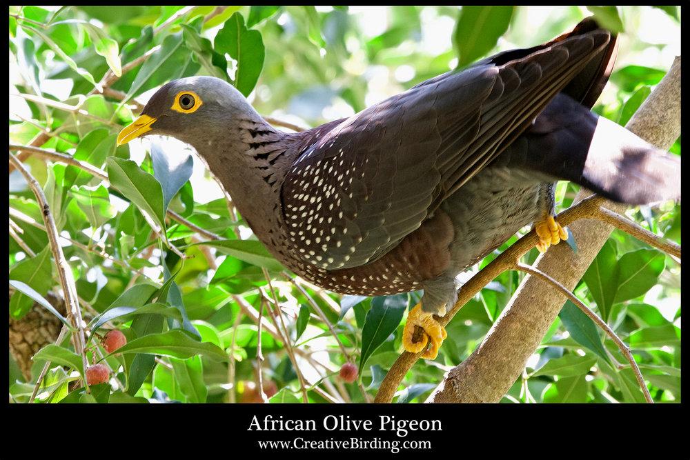 African Olive Pigeon.jpg