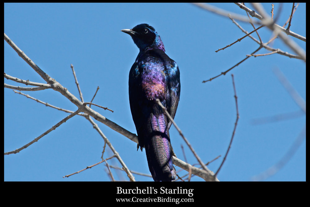 Burchell's Starling.jpg