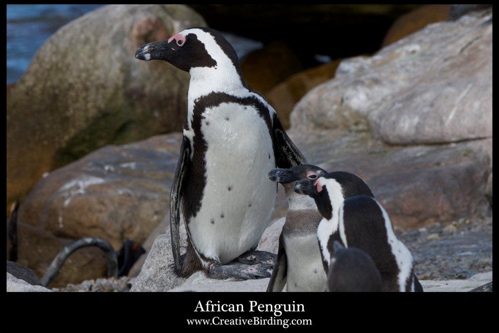 African Penguin2.jpg
