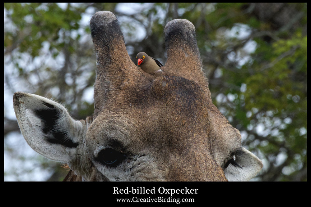 Red-billed Oxpecker2.jpg